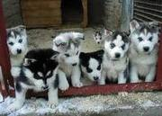Adorable Husky puppies
